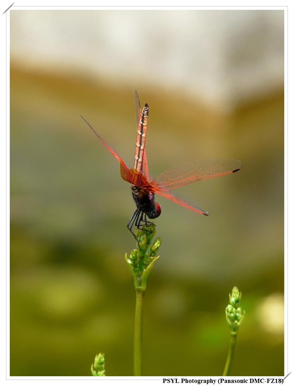 Scarlet Basker (Urothemis signata yiei) - 褐基蜻蜓