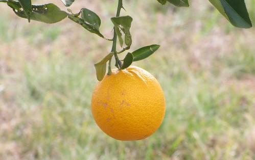 mi planta de naranja