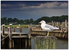 the gull (Steve Stanger) Tags: bird seagull nj monmouthcounty keyport d40 nikond40