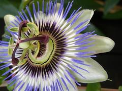 P8210029 (SteffStyle) Tags: passiflora passionsblume blumen2009