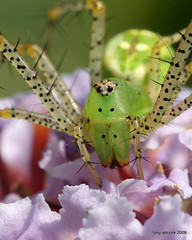 Green Lynx Spider (Peucetia viridans) (tonyadcockphotos) Tags: flowers macro nature gardens closeup garden spider insects butterflybush sciencecenter greenlynxspider peucetiaviridans supershot danvilleva abigfave platinumphoto explore474 macromarvels danvillesciencecenter butterflystation