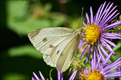 Cabbage White On New England Aster (Jeannot7) Tags: flower female butterfly pierisrapae cabbagewhite newenglandaster asternovaeangliae