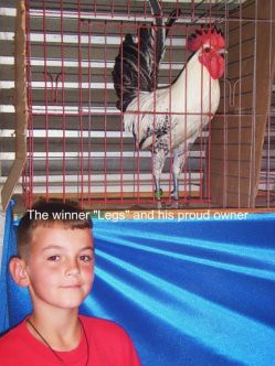 the winning rooster of the crowing contest a white and black with red top rooster