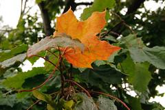 200908_loppukesn_kvelyll_002 (IlkkaL) Tags: k puu syksy luonto kasvit oranssi vrit lehdet asiat takahuhti irronnutlehti syksynvvaahteratakahuhtiasiatirronnut lehtikasvitkvelylllehdetluontooranssipuusyksysyksyn vritvaahterakvelyllsyksyn