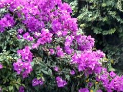 Purple Flower Cascade (Reinalasol) Tags: flowers flores flower nature petals flora flickr purple flor panama 2009 chirriqui petales april2009 panama2009 reinalasol