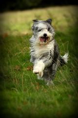 Bouncing...... (Abbie Lou) Tags: autumn dog windy processing vignette beardie trossachs scotland2009