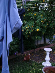 Hen under the Clothes Line