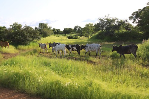 Burkinabé cattle...