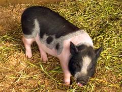 Pot Belly Pig Veterinarian