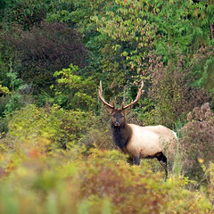 10 Point Roosevelt Elk Buck (Peggy Collins) Tags: autumn canada fall animal mammal interestingness stag britishcolumbia antlers explore elk dogwood peggy buck collins soe penderharbour sunshinecoast ironwood oceanspray blueribbonwinner bullelk rooseveltelk 10point specanimal animalkingdomelite elkbuck elkinforest 10pointelk animalinfield animalinforest elkinfield animalinautumn animalinfall elkinfall 10pointelkbuck animalstaring 10pointantlers elkinautumn
