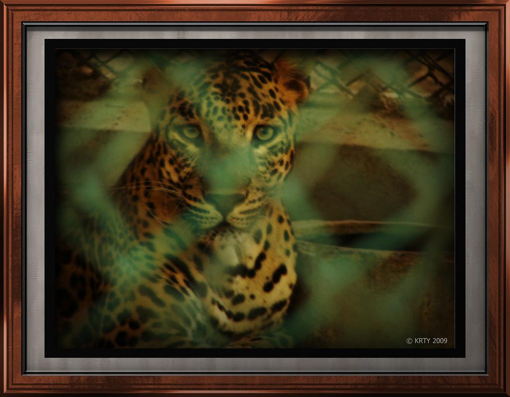 Leopard Saw