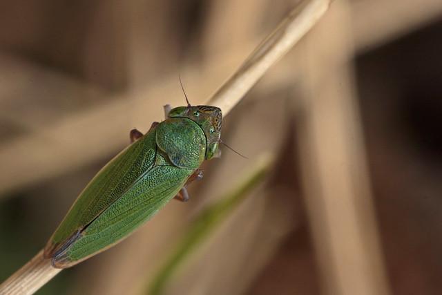 Common Leafhopper (Helochara communis)