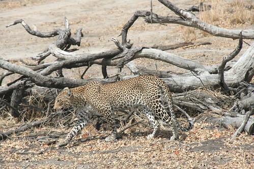 Leopard checking out Impala's - Selous GR, Tanzania