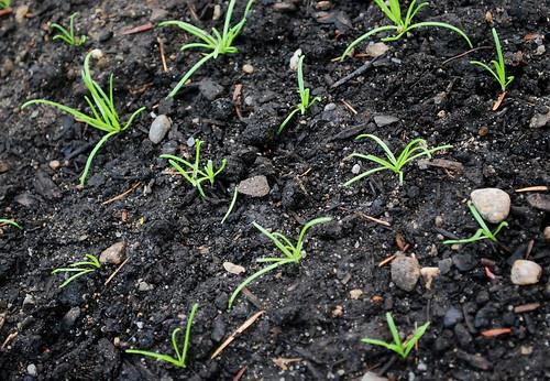 minutina seedlings
