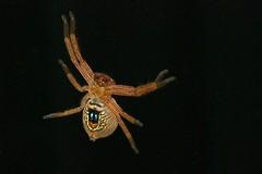 Shield Spider or Badge Huntsman (Neosparassus diana) (Gary Stockton) Tags: tasmania badgehuntsman legana shieldspider