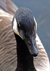 Goose bumps (Mr Grimesdale) Tags: olympus naturereserve canadagoose e510 britishbirds meresandswood mrgrimsdale stevewallace meresands mrgrimesdale holmeswood