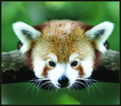 """RedPanda • <a style=""""font-size:0.8em;"""" href=""""http://www.flickr.com/photos/49635346@N02/4557896344/"""" target=""""_blank"""">View on Flickr</a>"""