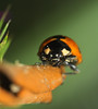 "lady bug (aziouezmazouz) Tags: macro cute colours bokeh cutie canon5d beautifulscenery bellissima vibrantcolours mywinners macromarvels macrolife ""physis"