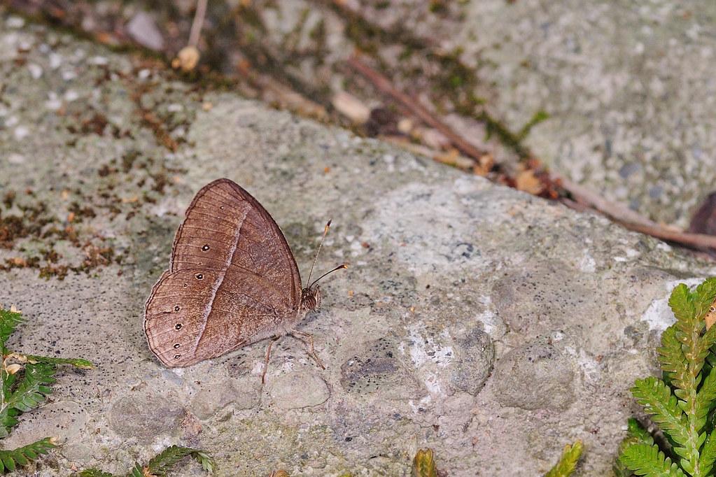 姬蛇目蝶 Mycalesis gotama nanda
