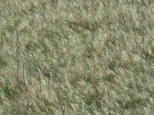 Cotton stalks 2