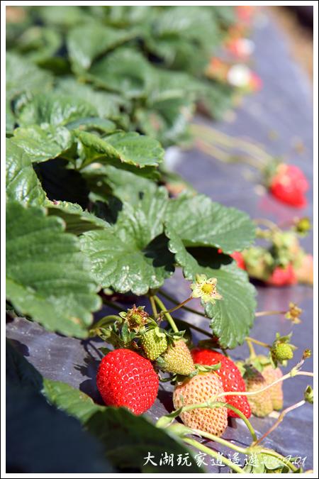 090117_06_採草莓