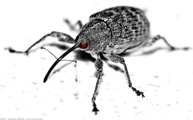 evil weevil