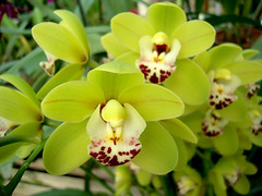 Cymbidium Dame Catherine by orchidgalore, on Flickr