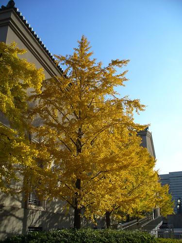 Paddock Café :: 美術館の大きな銀杏の木