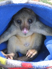 Mr Magoo (Ali Nisbett) Tags: possum animals native wildlife australian pouch marsupial marsupials possums australiananimals australianwildlife brushtail wildliferehabilitation babypossum australiannativeanimals nativeanimals brushtailpossum nativewildlife australiannativewildlife wildlifevictoria nativeaustralianwildlife wildlifecare babypossums brushtailpossums babybrushtailpossum possumpouch babypossuminpouch