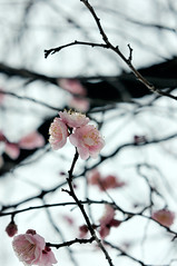 japanese plum ([cipher].verso) Tags: flower voigtlander plum aoyama 58mm nokton d300 colorefex capturenx