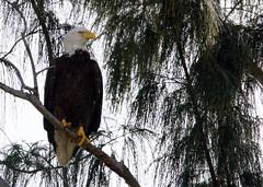 Eagle Roosting