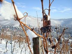 Trauben im schnee (deruhu99) Tags: winter white snow landscape vineyard stuttgart grapes landschaft schee weinberg trauben weis uhlbach