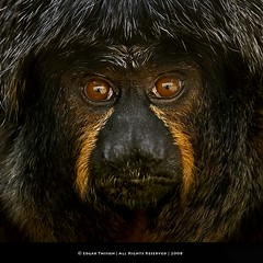White-faced Saki  (Edgar Thissen) Tags: portrait zoo monkey saki primate apenheul apeldoorn pitheciapithecia whitefacedsaki supershot edgarthissen specanimal 39613 specanimalphotooftheday