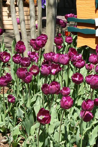 04091324purpletulips