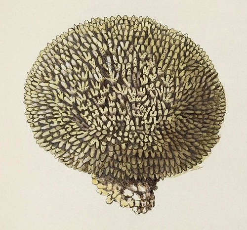 Millepora polymorpha (detail)