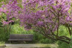 Lonely Bench #33 (louistib) Tags: park pink france flower fleur rose bench photography louis spring solitude day photographer photographie earth parc printemps banc earthday seul photographe issy thibaud issylesmoulineaux chambon ilesaintgermain parcdelilesaintgermain lonelybench bancsolitaire journedelaterre louistib louisthibaudchambon img2775a1c
