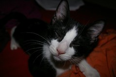Dame un besito!!! (como_un_pez_en_el_agua) Tags: pet animal cat kitten soft pussy gato cachorro felino bebe pussycat mascota suave gatito ulises babebaby