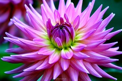 DAHLIA (PHOTOPHOB) Tags: pink dahlia flowers autumn summer plants plant flores flower color macro nature fleur beautiful beauty fleurs germa