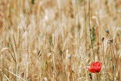 il papavero solitario (luana183) Tags: field gold estate plan emilia campo pane rosso piacenza solitario oro grano pianura farina solitudine papavero cereali