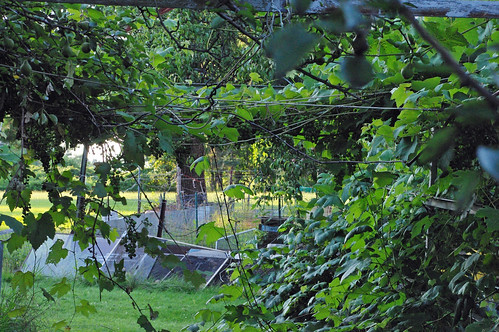 Our grape arbor