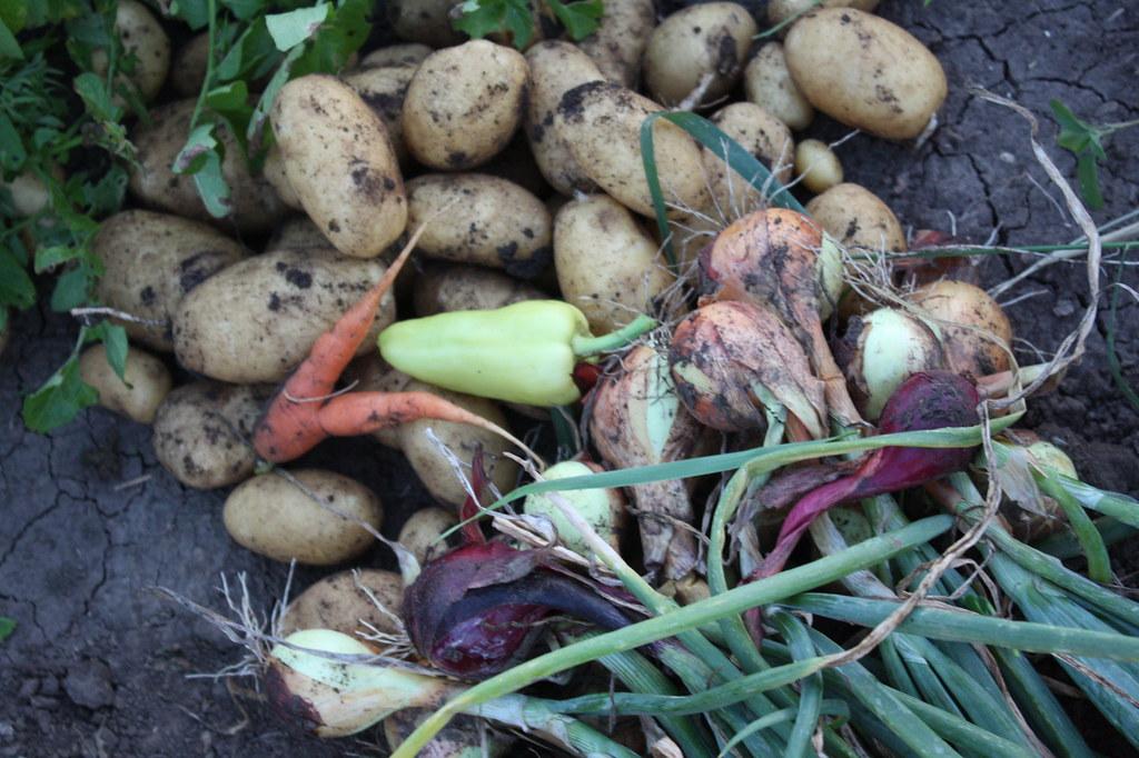 Die ersten Kartoffeln bzw. Erdäpfel