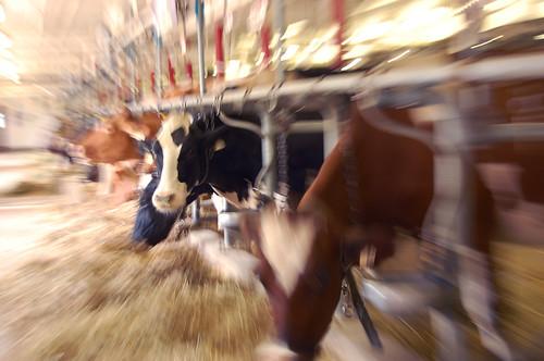 188b:365 Cow zoom