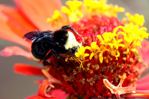 bee on a zinnia flower - macro - _MG_0431