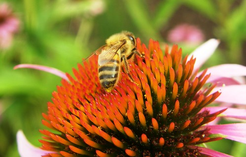 abeja en Echinacea angustifolia