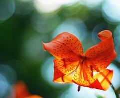 Flower Focused (Witty nickname) Tags: red orange flower calgary garden bokeh explore hero winner nikkor focused rockon 50mmf18 bokehlicious nikond80 yourockunanimous flowerfocused