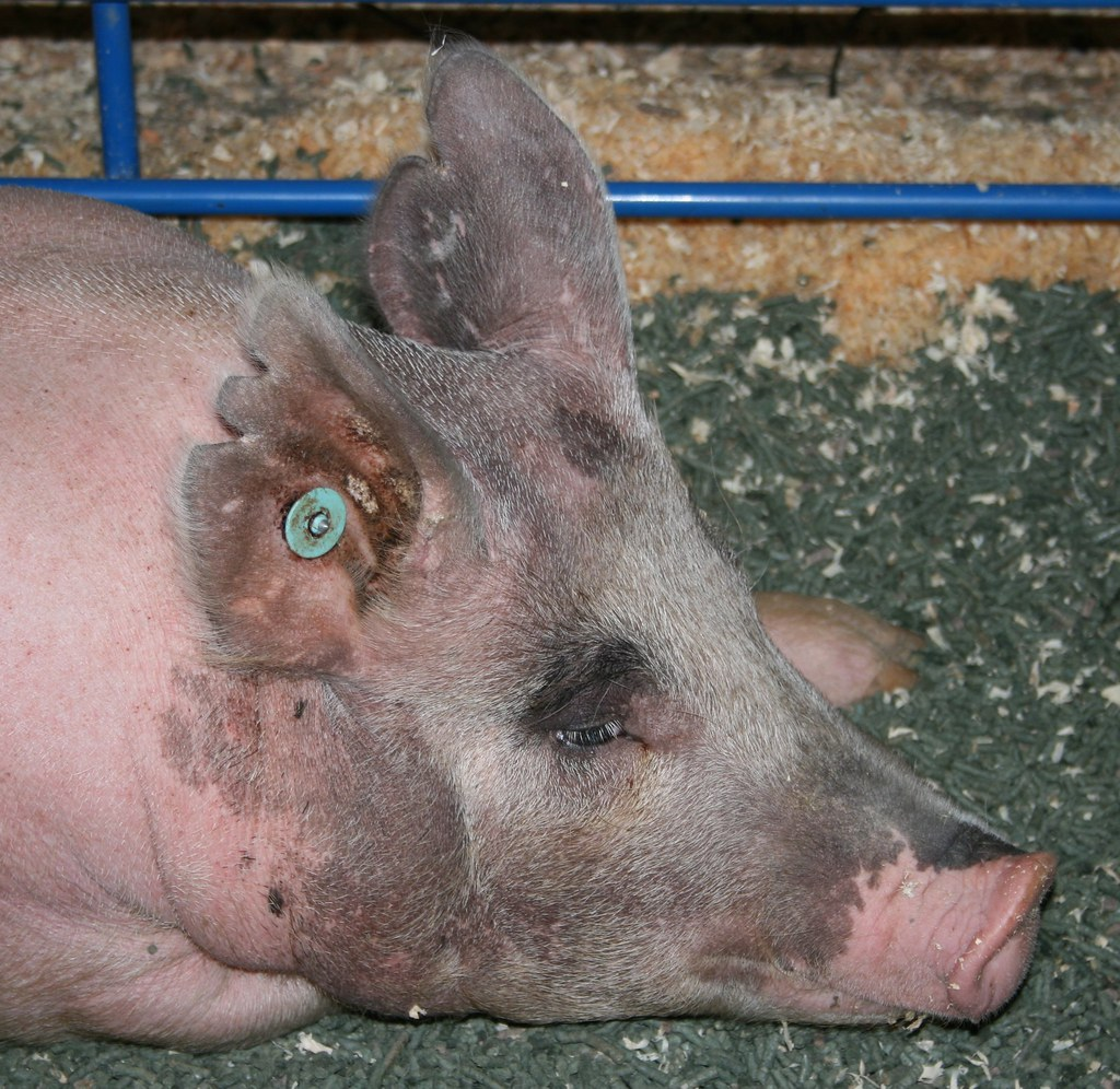 The Worlds Best Photos Of Eyelashes And Pig Flickr Hive Mind