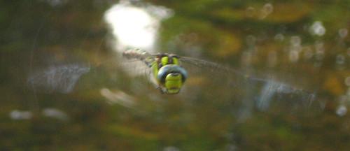 la libellula che mi fissa