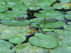 il salto della rana