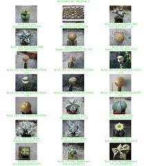 Bild 006 (sambucus2009) Tags: astrophytum kikko asterias superkabuto krausei