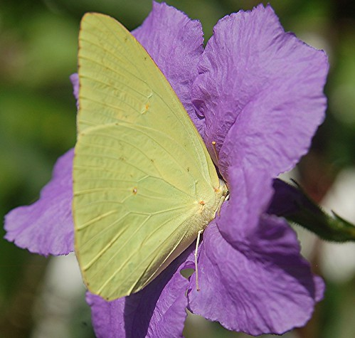 "A Sulphur Butterfly drives in ""head first"" to sip nectar from a Purple Ruellia"